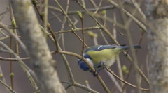 Small cute colorful bird in tree - Eurasian Blue Tit - 4k Stock Footage