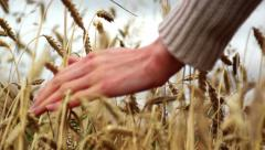 Hand moving over wheat growing on the field - stock footage