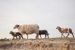 Ewe and lambs on sandy hill in forest area Stock Photos