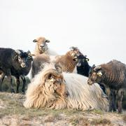 ewe and lambs on sandy hill near zeist on utrechtse heuvelrug - stock photo