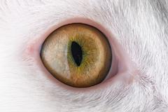 feline eye - stock photo
