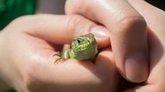 Woman's hands holding little green lizard Stock Photos