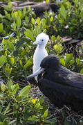 Mother frigate bird tenaciously protects her chick, Barbuda, Antigua and Stock Photos