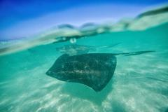 Snap on the water at Stingray City, a reserve hosting tens of stingray circling Stock Photos