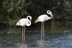 Greater flamingo (Phoenicopterus roseus), Camargue, Provence-Alpes-Cote d'Azur, Stock Photos