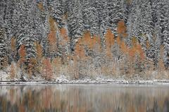 Orange aspens in the fall among evergreens covered with snow at a lake, Grand Stock Photos