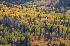 Yellow and orange hillside of aspen in the fall, Uncompahgre National Forest, Stock Photos