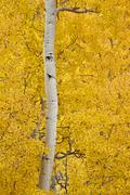 Yellow aspen in the fall, Uncompahgre National Forest, Colorado, United States - stock photo