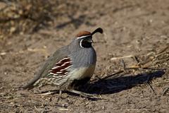 Gambel's quail (Callipepla gambelii), male, Bosque del Apache National Wildlife Stock Photos