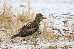Red-tailed hawk (Buteo jamaicensis), juvenile, Bosque del Apache National Stock Photos