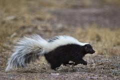 Striped skunk (Mephitis mephitis), Bosque del Apache National Wildlife Refuge, - stock photo
