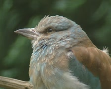 European roller, Coracias garrulus perched, fluffed up  feathers - close up Stock Footage