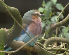 Lilac-breasted roller (Coracias caudatus) perched on a branch Stock Footage