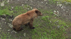 Alaskan Brown Bear Cub Approaches Its Mom on a Riverbank along a Salmon Stream Stock Footage