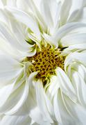 White aster - stock photo