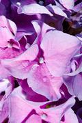 Lilac geranium Stock Photos