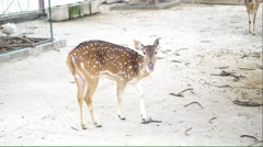 Stock Video Footage of Chital deer walking in the farm