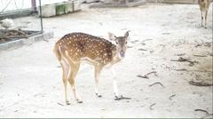 Chital deer walking in the farm Stock Footage