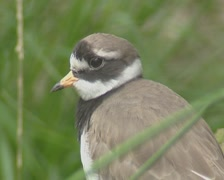 Common ringed plover or ringed plover (Charadrius hiaticula) - on camera Stock Footage