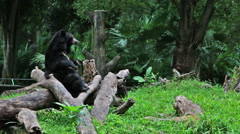 Asiatic black bear scratching its belly Stock Footage