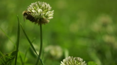 Bee In The Clover Field Flying From Flower To Flower Collecting Pollen. Stock Footage
