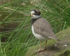 Common ringed plover (Charadrius hiaticula) on a stone and walks awa Stock Footage