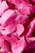 Stock Photo of Pink geranium