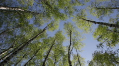 Green birchwood in a sunny day, the bottom view - stock footage