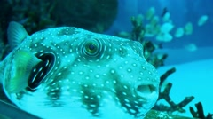 Puffer fish swimming still in the tanks Stock Footage