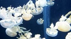 Aurelia jellyfish swimming Stock Footage