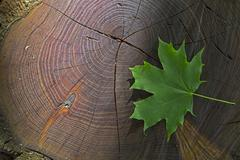 Fresh green maple leaf on wooden stock with sunbeam - stock photo