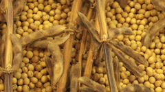 Ripe Soy Bean Plants and Beans Stock Footage