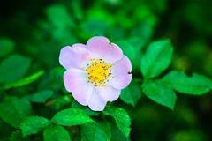 rose wildly - stock photo