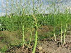 Asparagus shoot just before becoming woody Stock Photos