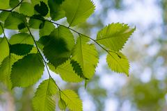 Leaves of alder Stock Photos