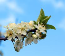 White flowers blossoming on a plum  tree - stock photo