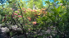Rhododendrons at Lydney Park 06 Stock Footage