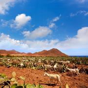 Stock Photo of Almeria Cabo de Gata goats in Genoveses beach