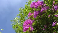 Stock Video Footage of Rhododendron blooming, low angle