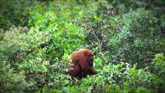 Howler monkey on top of a tree Stock Footage