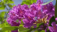 Stock Video Footage of Rhododendron blooming, close up