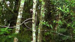A marmoset climbing a tree Stock Footage