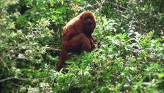 Howler monkey eating on top of a tree Stock Footage