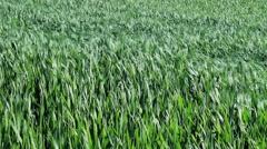 Green cereals field in summer Stock Footage