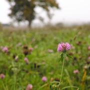 Stock Photo of Purple clover grass and tree in autumn