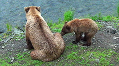 Alaskan Brown Bear Sow and Cub on River Bank Looking for Fish Stock Footage