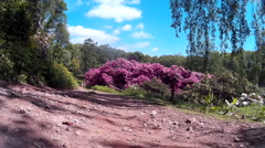 Rhododendrons at Lydney Park 01 Stock Footage