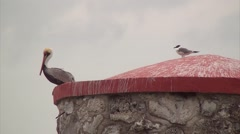 A PELICAN AND A TERN - stock footage