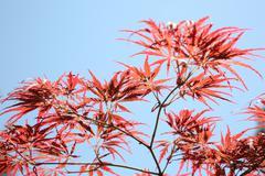 Acer palmatum Dissectum Atropurpureum Stock Photos