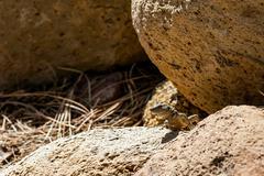 Lizard or lacertian reptile Stock Photos